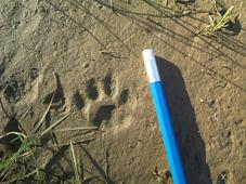 Huella de pisada animal en la arena